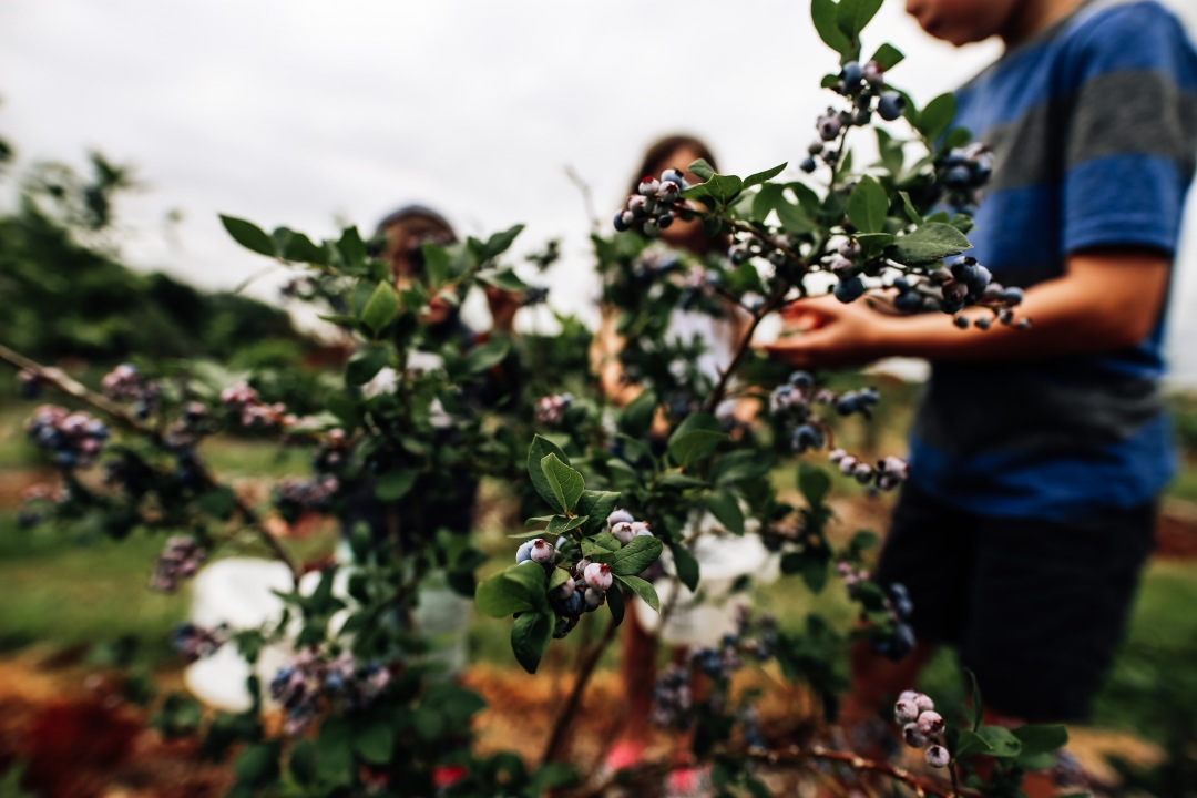 blueberry blackberry strawberry picking orchard family photography kansas city donuts berry patch