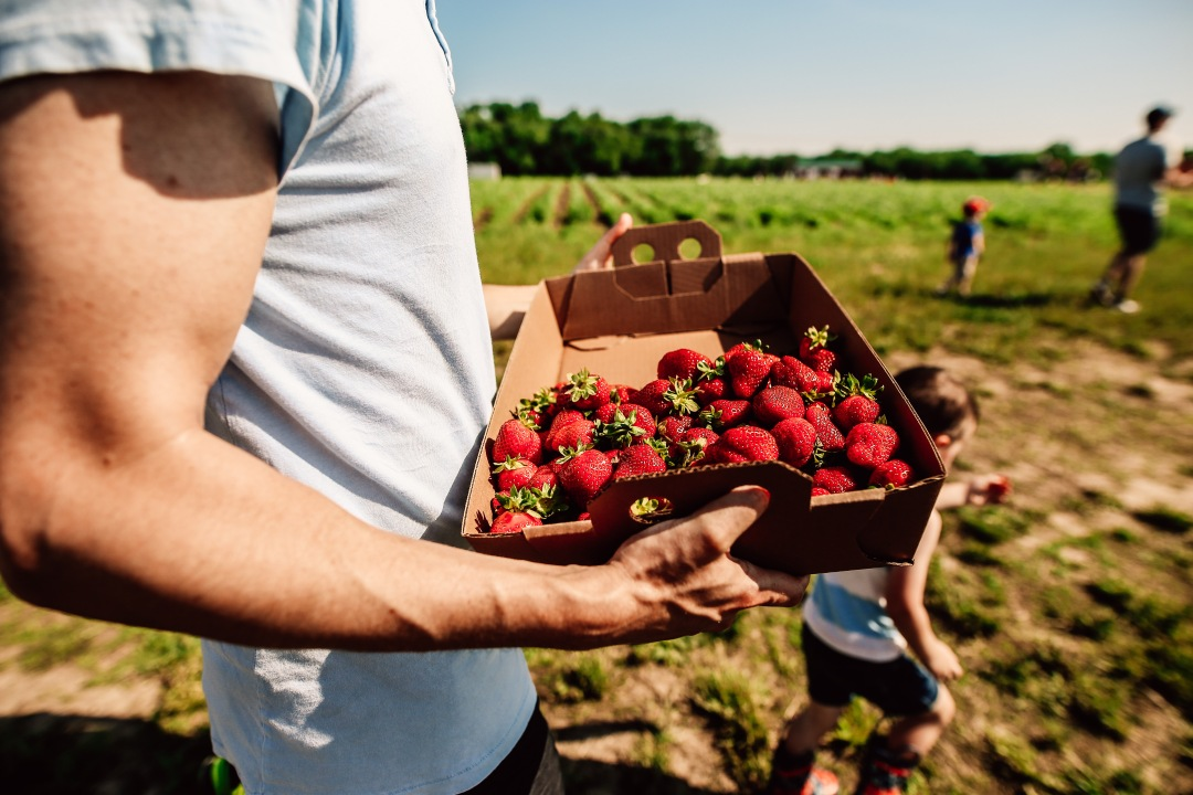 strawberry picking orchard family photography kansas city donuts berry patch